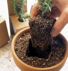What a cool idea ~ fill the pot with soil, leaving the herb (or plant) in its plastic container. Then, remove the plant and set into hole. Neat-o!
