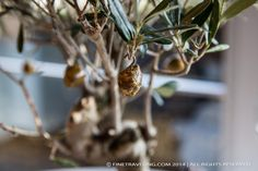 Caramelized crunchy olives hanging from a Bonsai olive tree. - www.finetraveling.com