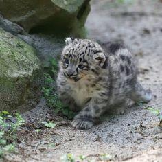 Nachwuchs im Zoo Krefeld ❤ Unser #schneeleoparden Paar Dari & Patan haben am 9.April zum dritten Mal Jungtiere bekommen. Einen Kater und zwei #Kätzchen. Einfach zum anbeißen. #snowleopard #snowleopards #cat #cats #bigcats #littlecats #katze #katzen #kitten #kittens #animals #animal #zoo #snowleopardtrust #wildlife #savebigcats Foto: @vera_gorissen