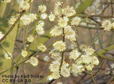 WILLOW, PUSSY (Salix caprea) (Willow, Goat)
