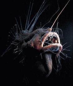 """Le Caulophrynidaeo  Il s'agit sûrement de l'une des bestioles les plus laides connues sur cette Terre. Son nom vient du grec et signifie  """"Tronc Crapaud"""", ce qui lui va plutôt bien !"""