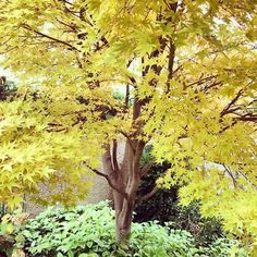 Gorgeous #autumn color in the Ripley Garden. Japanese coral bark maple (Acer palmatum 'Sango-kaku')