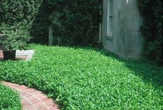Florida Jasmine Ground Cover | This is Asian Jasmine. It's a type of ground cover that covers ground ...