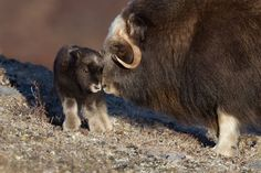 I see your cute reptiles and submit this cuddly Musk Ox Cute Baby Animals, Farm Animals, Funny Animals, Wild Animals, Beautiful Horses, Animals Beautiful, Beautiful Beautiful, North To Alaska, Polo Norte