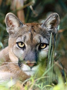 An Alleged Florida Panther. Owner Frank 1 by Michael Nichols : Florida Panther Photograph - An Alleged Florida Panther. Owner Frank by Michael Nichols Pumas Animal, Beautiful Cats, Animals Beautiful, Chat Lion, Lion Tigre, Animals And Pets, Cute Animals, Wild Animals, Baby Animals