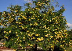 Tecoma-stans-Yellow-bells (700x492, 771Kb)