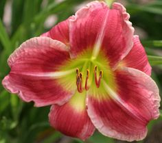 Daylily, Hemerocallis 'Lillian's Delight' (Roycroft, 2007)