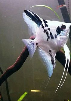 Grace, platinum blue marble angelfish