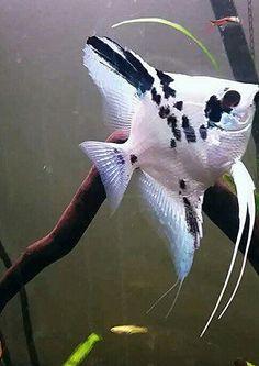 Grace, platinum blue marble angelfish