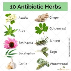 10 Antibiotic Herbs - Alternatives for Synthetic Antibiotics that have become resistant to bacteria!