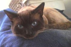 I had a very large male Siamese cat that I named Eon - this is not him but this picture reminds me of him :-)