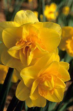 Narciso Narcissus 'Crackington' Fotografia de John Glover, uno de los primeros y de los mas importantes fotografos de jardin del Reino Unido