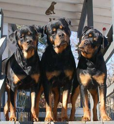 A trio of Rotties. Rottweiler dog art portraits, photographs, information and just plain fun. Also see how artist Kline draws his dog art from only words at drawDOGS.com #drawDOGS http://drawdogs.com/product/dog-art/rottweiler-dog-portrait-by-stephen-kline/ He also can add your dog's name into the lithograph.