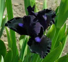Iris  'Black Lightning'