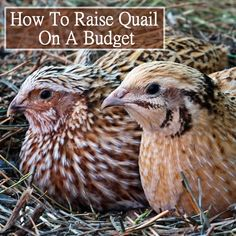 How To Raise Quail On A Budget #homesteading