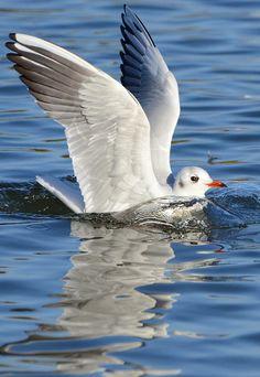 Seagull by Turhan Topacogullari