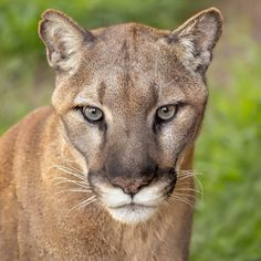 Mountain lions Koya & Kima (pictured) came to us in 2006 and respectively, after they were found orphaned in the wild. Wild Animals Photos, San Diego Zoo, Mountain Lion, Orphan, Big Cats, Beautiful Creatures, Savannah Chat, Lions, Wildlife