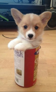 Little corgi in a can