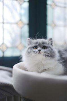 Chat gris bicolore bleu et blanc : chaton british longhair des British du clos d'Eugénie (élevage de british shorthair et longhair). Mannequin : Lynn et Photo : Vanessa Pouzet | Beautiful cat blue and white | British longhair kitten
