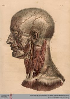 Dealer or Reseller Listed Art Human Anatomy Drawing, Face Anatomy, Anatomy Study, Andreas Vesalius, Illustrations Médicales, Medical Drawings, Medical Posters, Medical Anatomy, Jean Baptiste