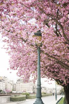 April in Paris: Clouds of Pink - Georgianna Lane