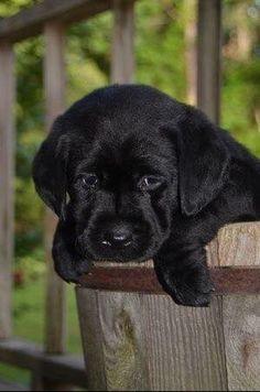 Baby Black Labrador by A Texas Girl's Favorites