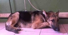 Depressed Shepherd Living in Kill Shelter, Is Just Too Sad To Greet Visitors Anymore, PLEASE HELP!
