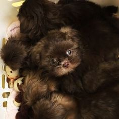 Basket full of Chocolate Shih Tzu puppies by Sunnybelle Shih Tzus.
