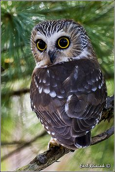 Saw-whet Owl by Earl Reinink ….My what big eyes you have Mr. Beautiful Owl, Animals Beautiful, Cute Animals, Wild Animals, Beautiful Pictures, Owl Photos, Owl Pictures, Mosaic Pictures, Saw Whet Owl