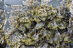 Gaspesie Winter Beach Herbs, Food, Essen, Herb, Meals, Yemek, Eten, Medicinal Plants