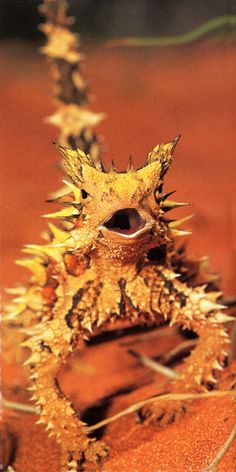 "What a cutey - the thorny devil lizard or Moloch - features a spiny ""false head"" on the back of its neck, and the lizard presents this to potential predators by dipping its real head. The thorny devil's body is ridged in structure, and this enables the animal to collect water from any part of its body. That water is then conveyed to its mouth. Sometimes seen standing in a puddle of water sucking it through it's feet and then licking it's lips."