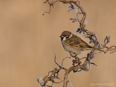 Tree Sparrow by Walter Soestbergen