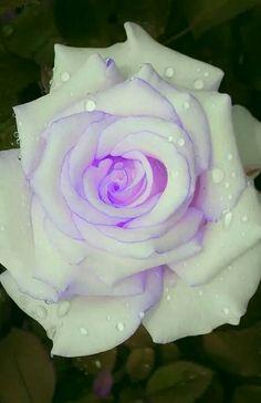 Captivating Why Rose Gardening Is So Addictive Ideas. Stupefying Why Rose Gardening Is So Addictive Ideas. Beautiful Rose Flowers, Unusual Flowers, Pretty Roses, Rare Flowers, Love Rose, Flowers Nature, Amazing Flowers, Purple Roses, White Roses