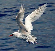 RareBird ~ Red Tail Tropical Bird, near Kona, Hawaii