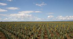 In 1862, George Ebers first discovered the benefits of #AloeVera in an ancient Egyptian Papyrus, dated 3500 BC.