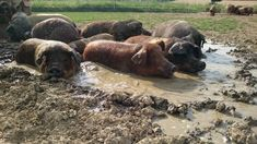 Duroc Schwein Hippopotamus, Dogs, Animals, All Saints Day, Agriculture, Meat, To Draw, Ideas, Animales