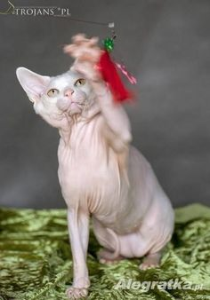 3500.00 PLN: * ( KRYCIE ) * Reproduktor Sfinks Kanadyjski  * Śliczny Biały rodowodowy kocurek Sfinks Kanadyjski o wysokim tytule ,  zaprasza wszystkie...