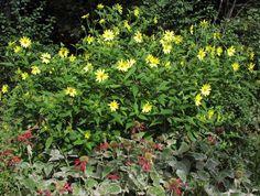 for in between the arborvitae,  Lemon Queen Coreopsis, and Jacob Cline Monarda