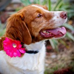 SALLY #4116 WV is an adoptable Brittany Spaniel Dog in Altoona, PA. Age/Sex: 6 years 11 month old spayed female  Details: House Broken, Crate Trained, needs fence Location: Beckley, WV Email Address: ...