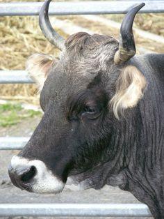 Rinder-Kühe-Stiere - grauvieh-schweiz