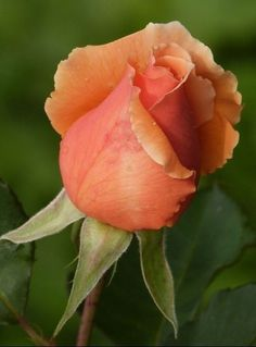 Colorful Roses, Exotic Flowers, Tropical Flowers, Amazing Flowers, Love Flowers, Beautiful Roses, Lavender Roses, Tea Roses, Rose Family
