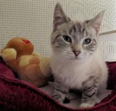 Silvie is an adoptable Domestic Short Hair - Gray And White Cat in Hampton, VA. Siamese Mix Her picture doesn't show it but she has beautiful blue eyes.� She is a�pretty little girl who�looks like a�S...