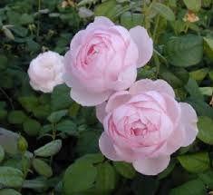 Bilderesultat for rosa scepter d'isle