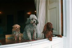 Richard Nixon's dogs King Timahoe, Vicky, and Pasha look out of a White House window: | The 42 Best Photos Ever Taken Of White House Pets