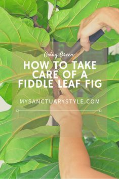 How to Take Care of a Fiddle Leaf Fig Tree - Modern Design Fig Leaves, Plant Leaves, Fiddle Leaf Fig Tree, Take That, Just For You, Tree Care, Ficus, Plant Care, Amazing Gardens