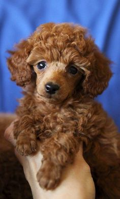 Top 5 Longest Living Dog Breeds Well I have a cockapoo, so that counts.