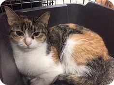 Fenton, MO - Domestic Shorthair. Meet Lily, a cat for adoption. http://www.adoptapet.com/pet/17312939-fenton-missouri-cat