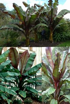 """Red Abyssinian Banana Tree (Ensete Ventricosum 'Maurelii') - Zone 9-11 Part-Full Sun 8'-15' Ornamental banana has giant green leaves, up to 10' long, with dark red/burgundy undersides. Flowering usually doesn't occur unless the banana's pseudo-trunk remains frost-free for over a year, but if it flowers-it will die. Fast growing-an 18"""" starter will turn into 10' tree in 4-5 months & will create instant shade and a tropical atmosphere. Propagate by seed, tissue culture-does not produce pups."""