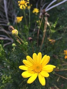 Euryops (euryops pectinatus): One of the most popular spring daisies. Blooms over a long period. Best in full sun with regular water. Deadhead to keep new blooms coming.