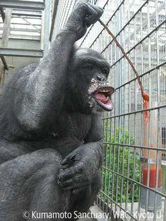 chimpanzee enrichment - Google Search